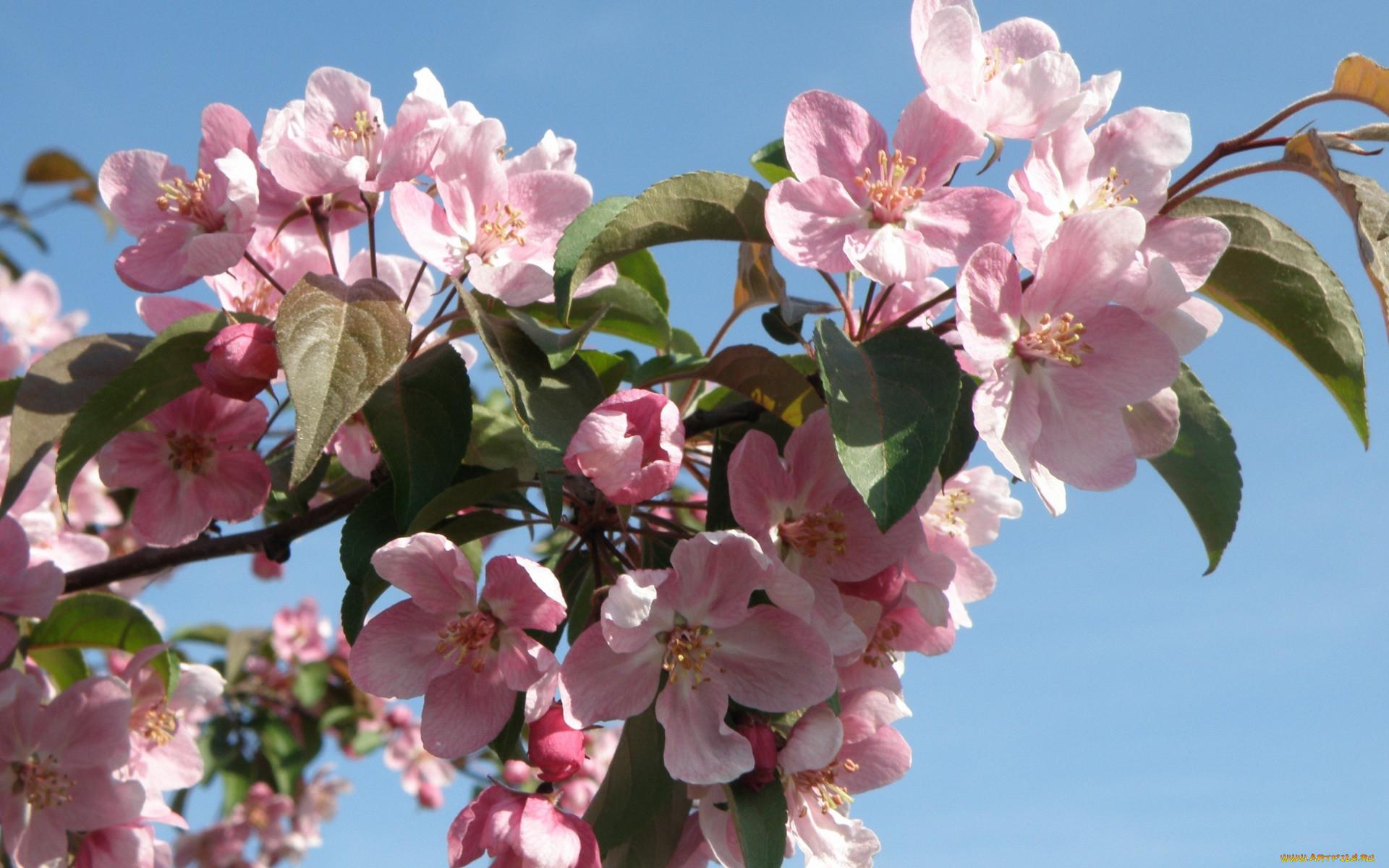 забрали больницу, фото цветущей яблони на рабочий стол главная дорога можно